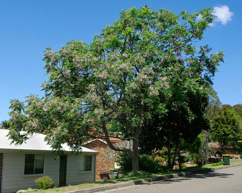 White cedar - broadly domed deciduous tree flowering in late spring