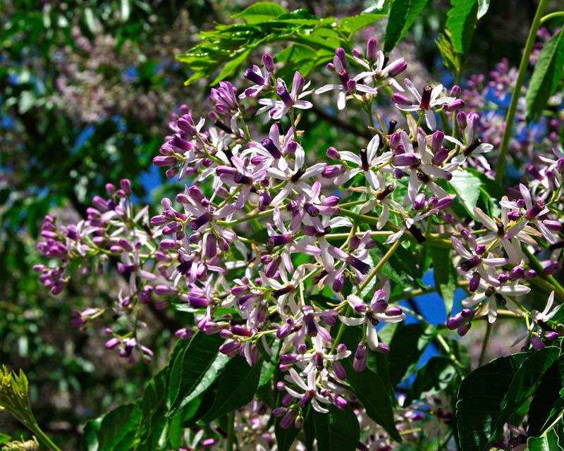 Melia azedarach - White cedar - cluster of delicate pale mauve and deep purple flowers