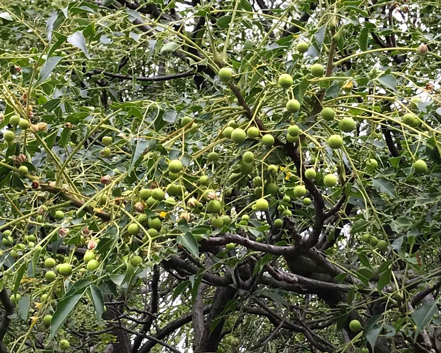 Immature fruit will turn orange and remain on the tree over winter - Melia azedarach