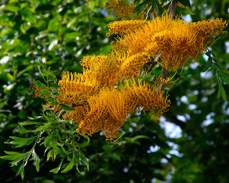 Grevillea robusta - golden toothbrush flowers of Grevillea Silky Oak