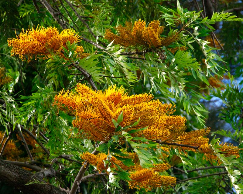 Grevillea robusta - golden toothbrush like flowers in spring