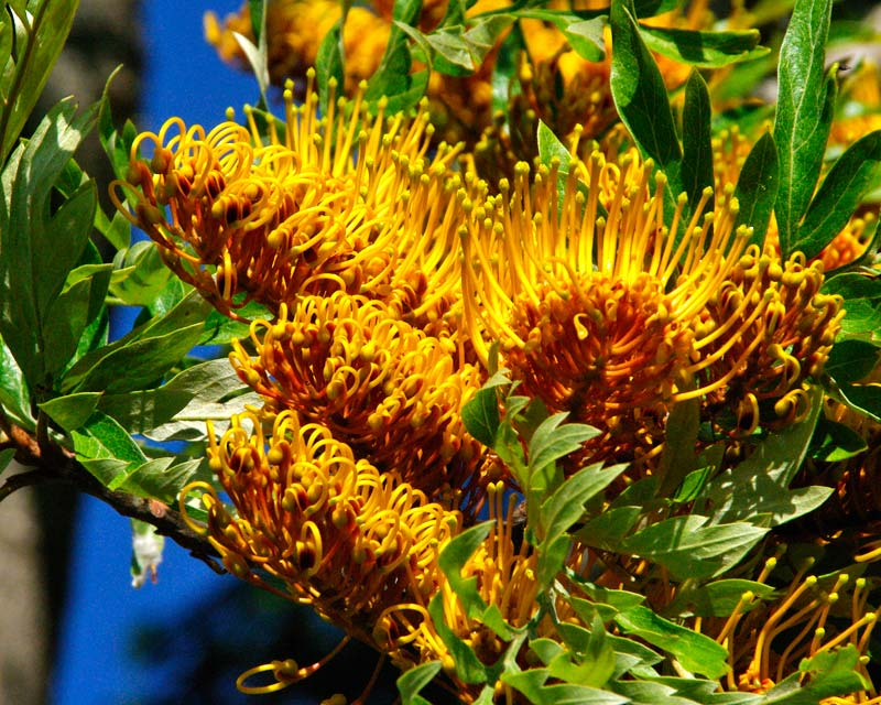 Toothbrush inflorescence of golden yellow saccate flowers - Grevillea robusta