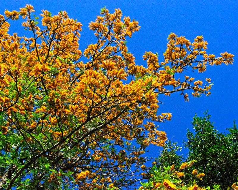 Grevillea robusta Silky Oak - masses of golden yellow flowers in spring
