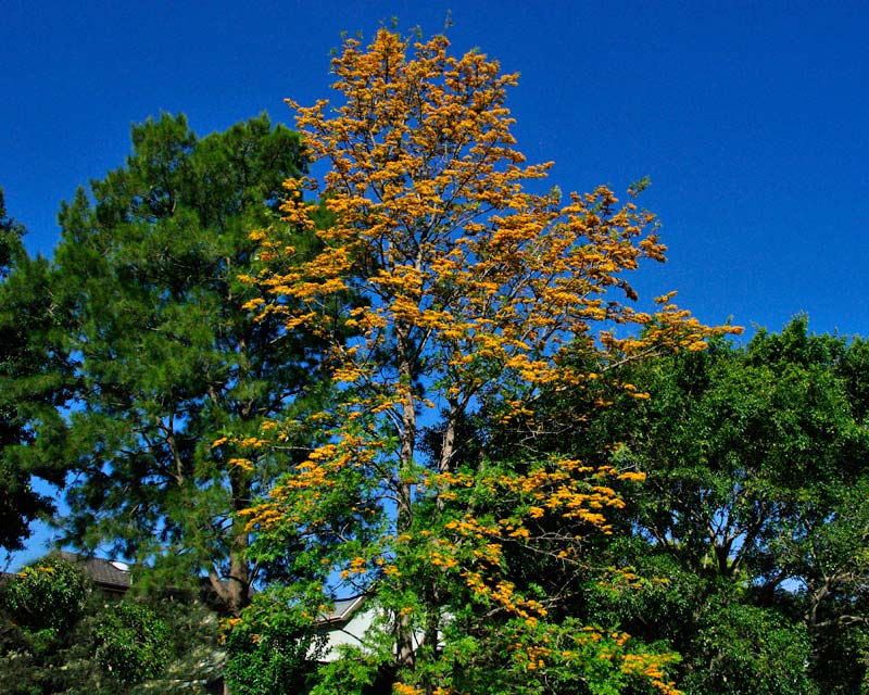 Grevillea robusta - Silky Oak - large tree with yellow flowers in spring