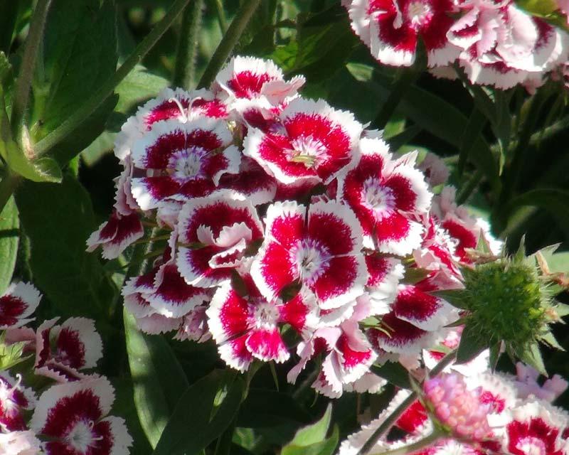 GardensOnline: Dianthus barbatus