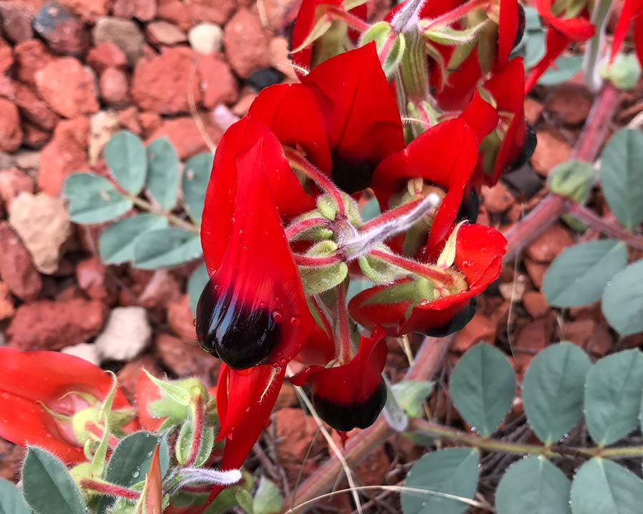 Sturt's Desert Pea - bright red flowers grow in ring around top of flower stem