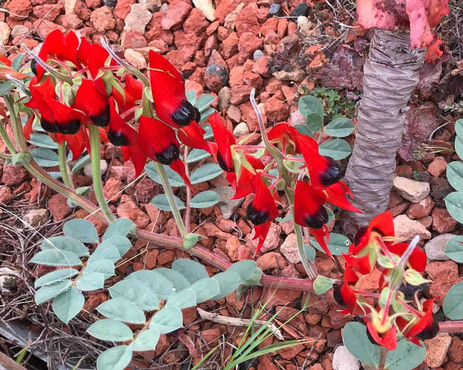 Sturts Desert Pea, Swainsona formosa - Along the trailing stems, dramatic red and black flowers are borne around the top of vertical flower stems