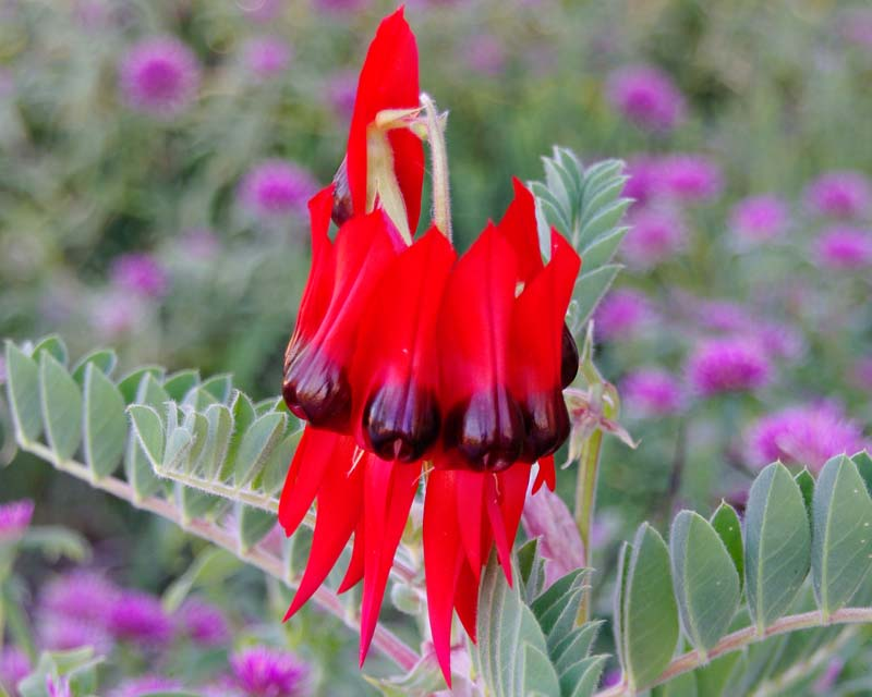 Swainsona formosa - Sturts Desert Pea  bright red flowers with black eyes