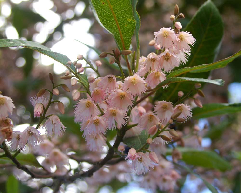 Elaeocarpus reticulatus Prima Donna