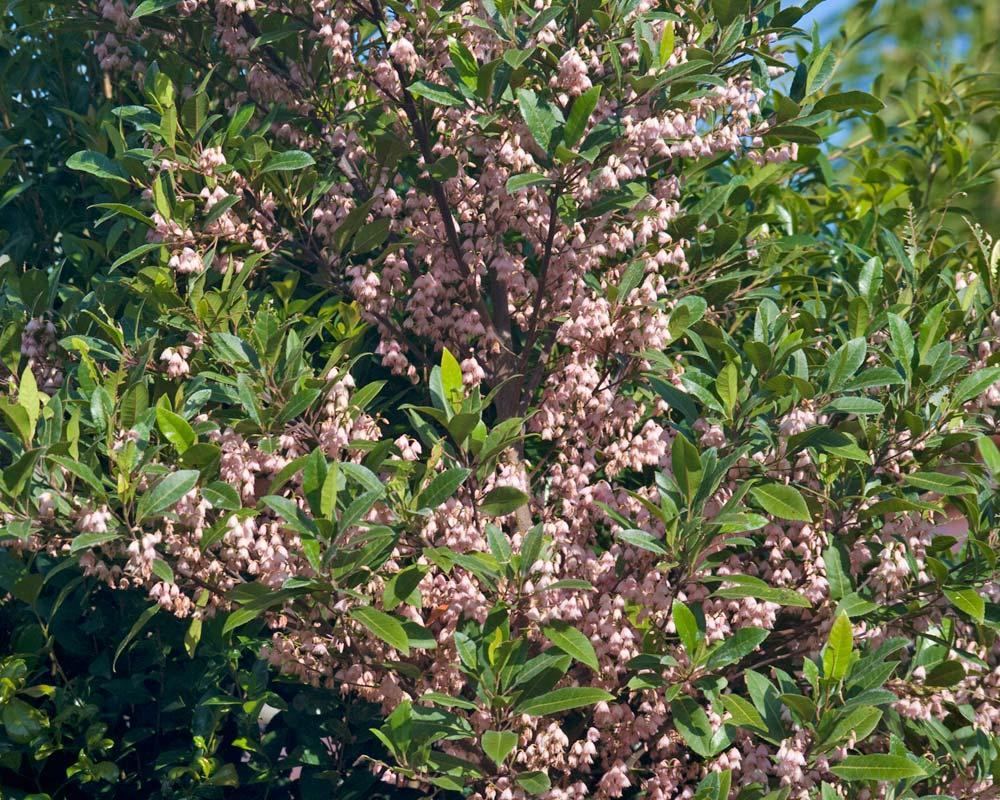 Eleocarpus reticulatus - Blueberry Ash