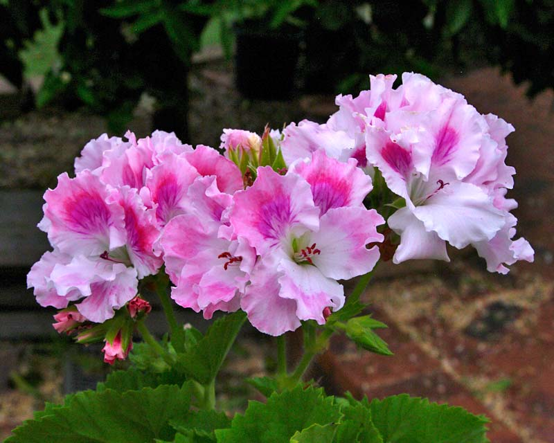 White and pink frilly flowers of Pelargonium Palmyra Pearl