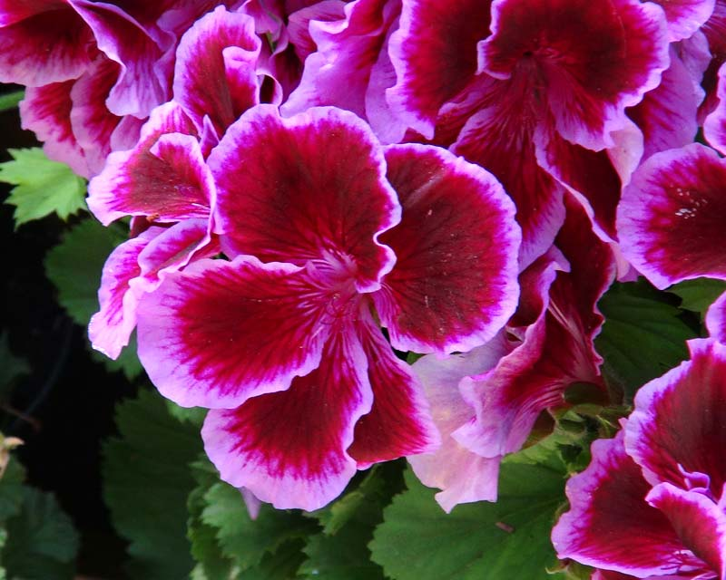 Regal Pelargonium Fareham Deep red-purple petals edged with mauve