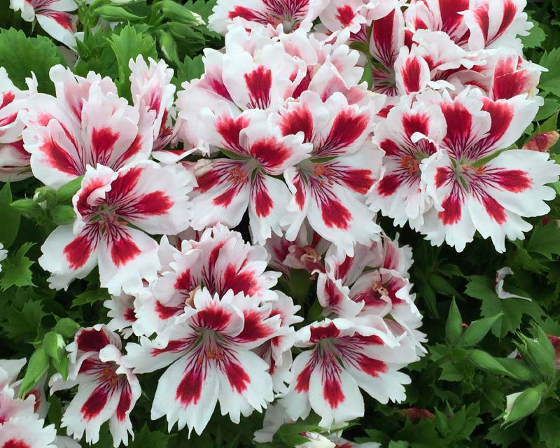 Regal Pelargonium Fringed Aztec - frilly flowers are white with red-purple markings