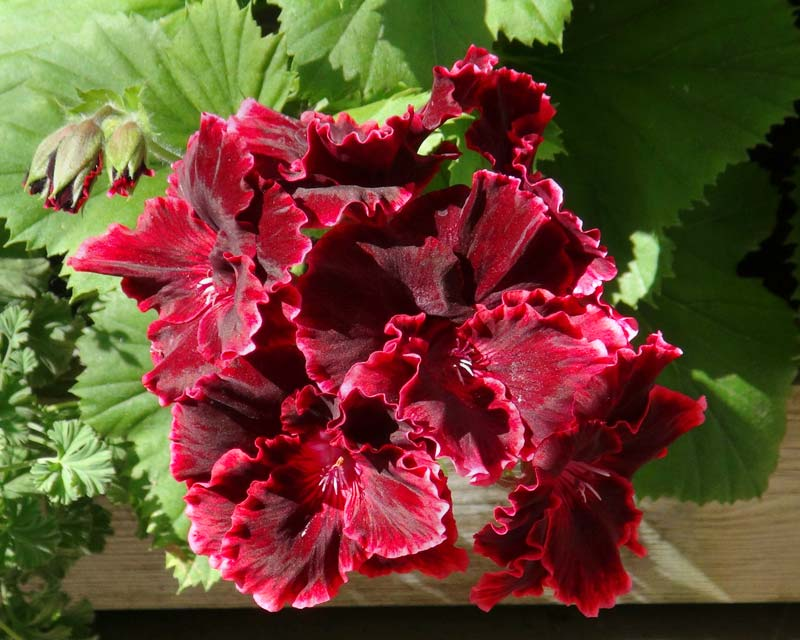 Regal Pelargonium Rimfire - deep reddy-brown petals edged with pale red
