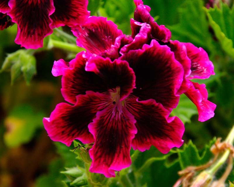 Pelargonium - unknown Regal hybrid  - deep pink with splashes of black