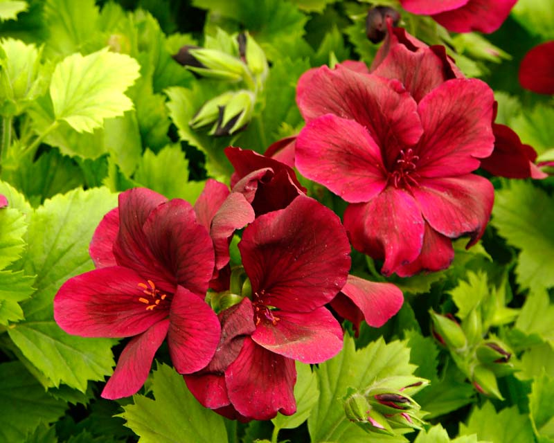 Regal Pelargonium - Aldwyck - deep red flowers