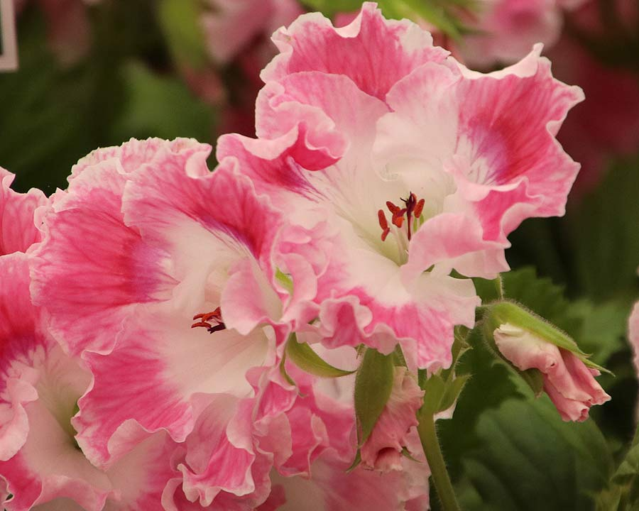 Pelargonium Regal Hybrid Delli - frilly pink and white flowers