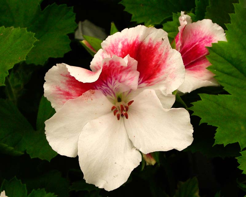 Regal Pelargonium First Blush - White petalled flowers there are blotches of deep pink on the upper petals