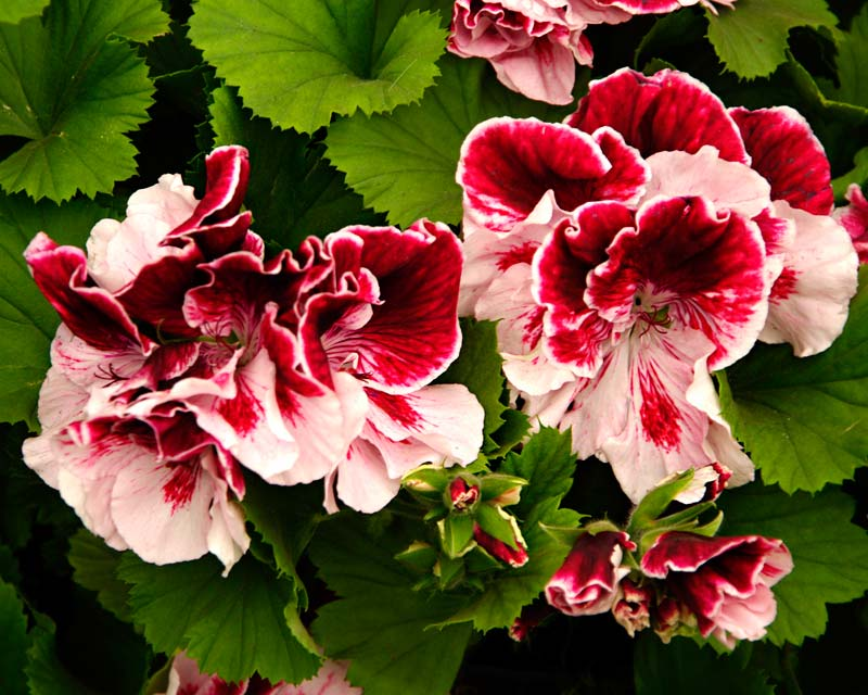 Regal Pelargonium Joyce Coffee - Frilly flowers with white and maroon petals