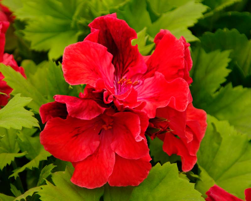 Regal Pelargonium Montigue Garibaldi Smith - red flower with black markings on the upper petals