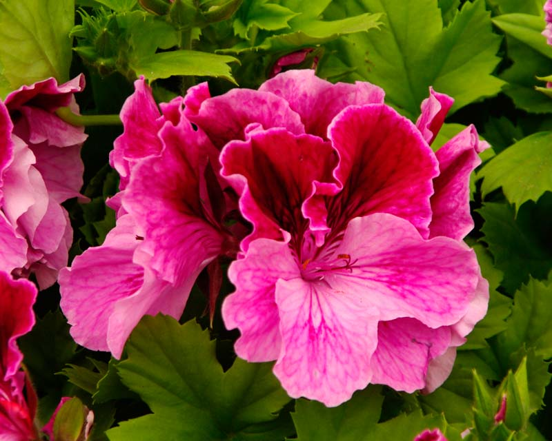 Regal Pelargonium Monty's Magic  Frilly flowers with deep cerise upper petals and soft lilac lower petals