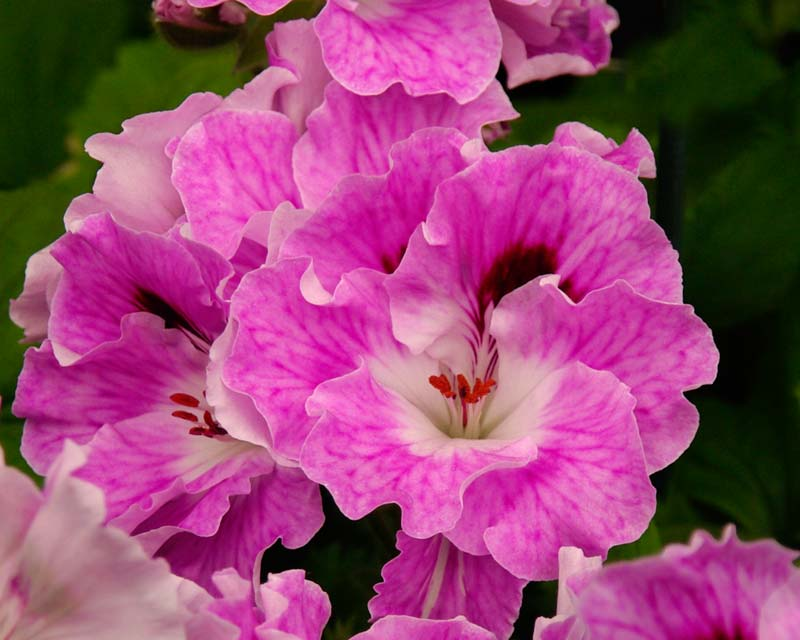 Regal Pelargonium Parisienne - Frilly flowers with soft lilac to pink flowers, small purple blotches on the upper petals and a white throat