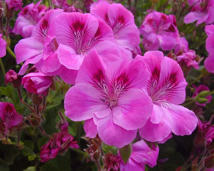 Pelargonium x domesticum hybrids