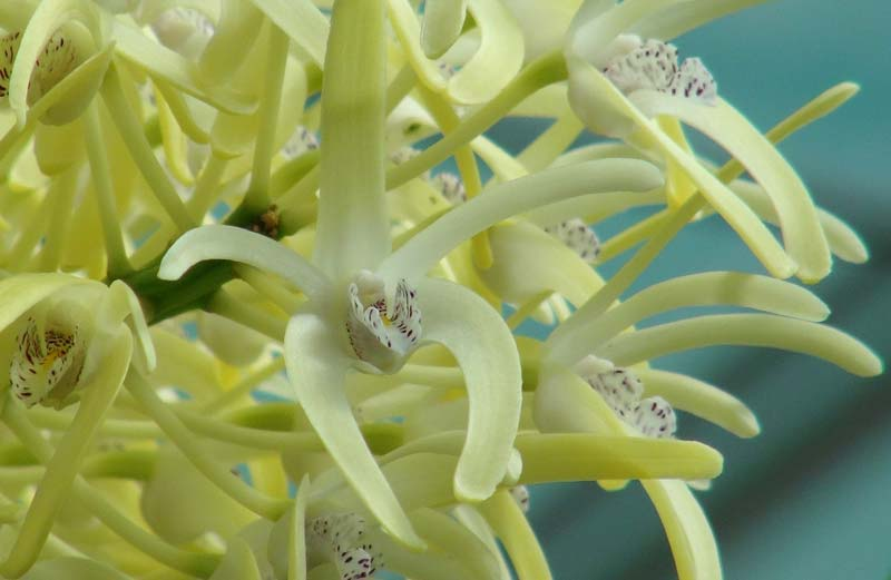One of the many flowers on each inflorescence of Dendrobium speciosum