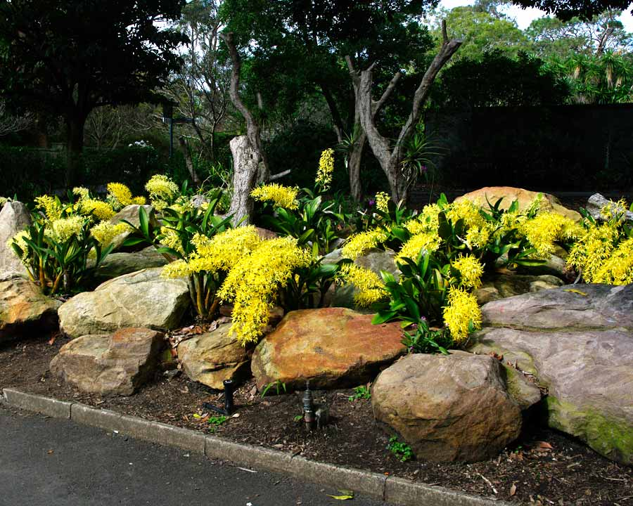 Dendrobium speciosum - Rock Lily - Sydney Botanic Gardens