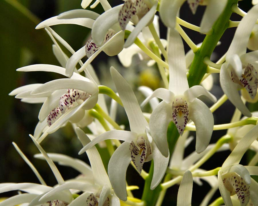 Dendrobium speciosum or Rock Lily