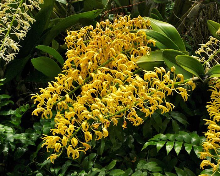 Dendrobium speciosum - variety Grandiflorum Mount Larcom Gold
