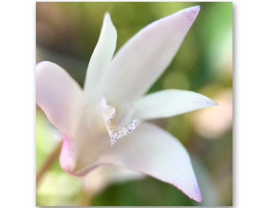 Dendrobium kingianum - Rock Orchid