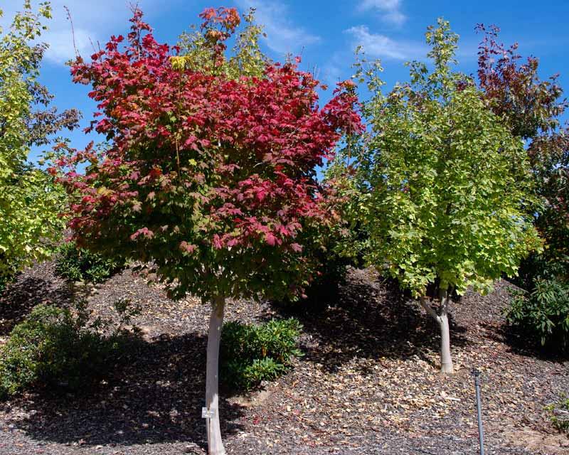 Acer japonicum Vitifolium - Autumn colours