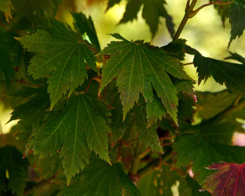Acer japonicum - the leaves darken before turning red and orange
