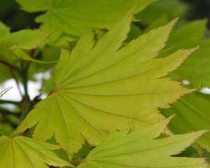 Acer japonicum - new growth, the leaves will darken as they age and in autumn will turn to oranges and reds.