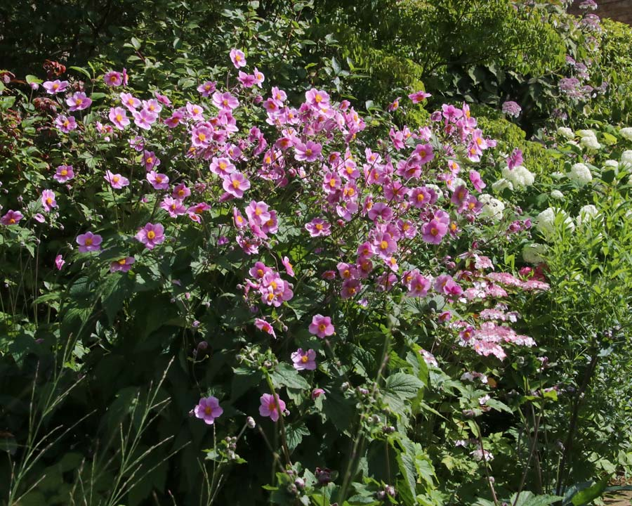 Anemone hupehensis japonica - best planted in drifts