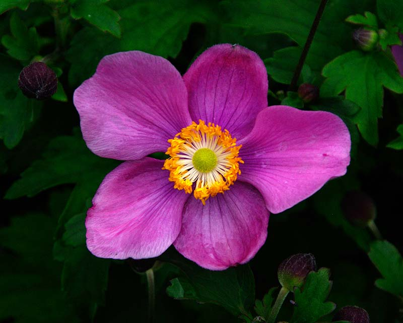 Anemone hupehensis japonica 'Splendens' deep pink flowers
