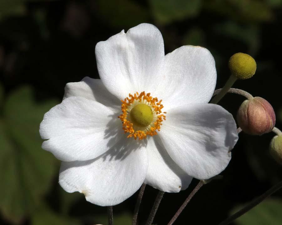 Anemone hupehensis japonica
