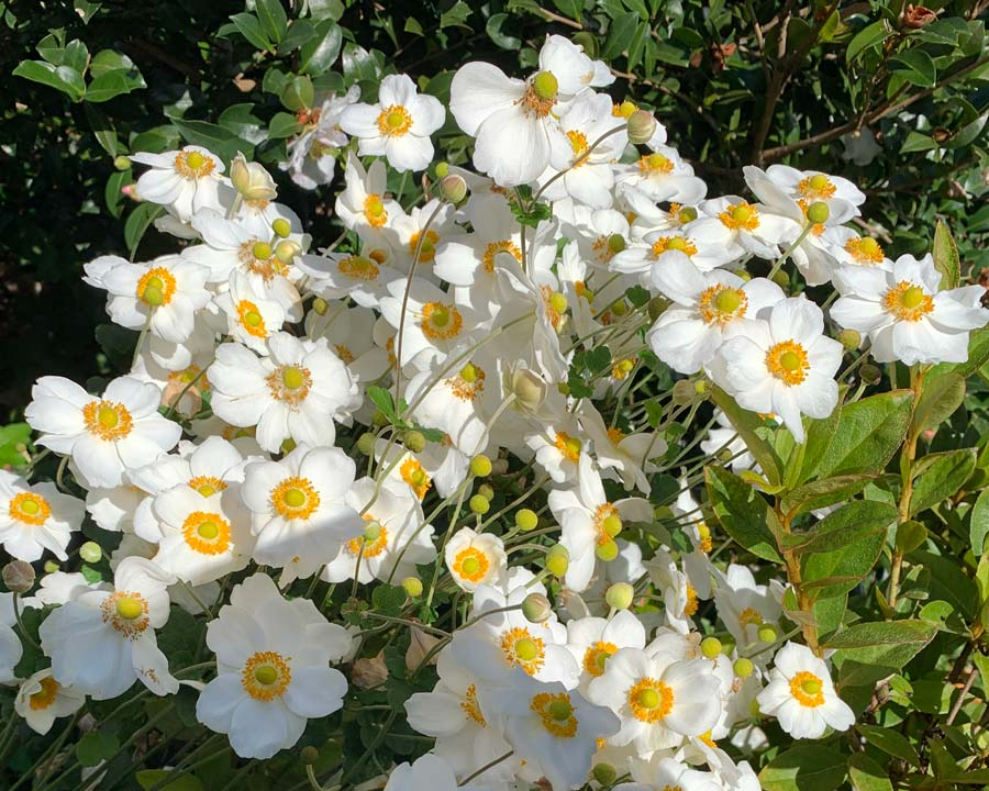 White flowers saucer shaped flowers with yellow centre - Anemone hupehensis - Windflower
