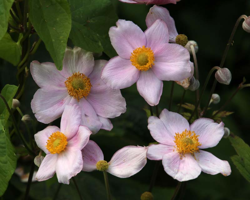 Anemone hupehensis japonica delicate pale pink flowers