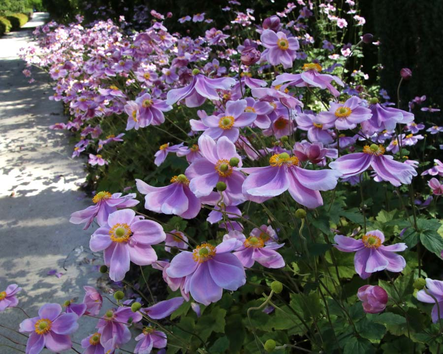 Anemone huphensis japonica