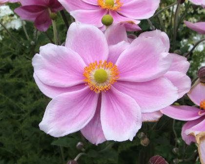 Anemone hupehensis japonica