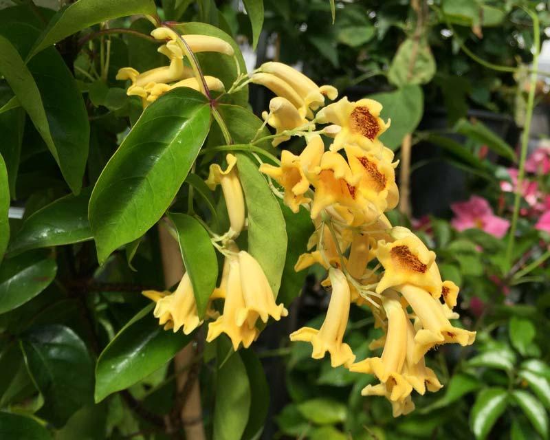 Pandorea pandorana 'Lemon Bells' clusters of lemon bell-like flowers