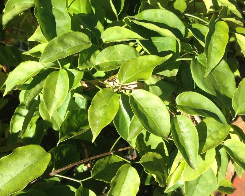 Pyrostegia venusta foliage