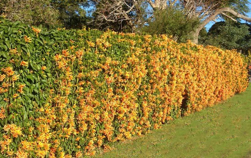Pyrostegia venusta - a winter wall of orange flowers
