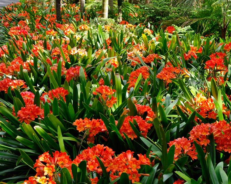 Clivia miniata - usually best when planted en masse