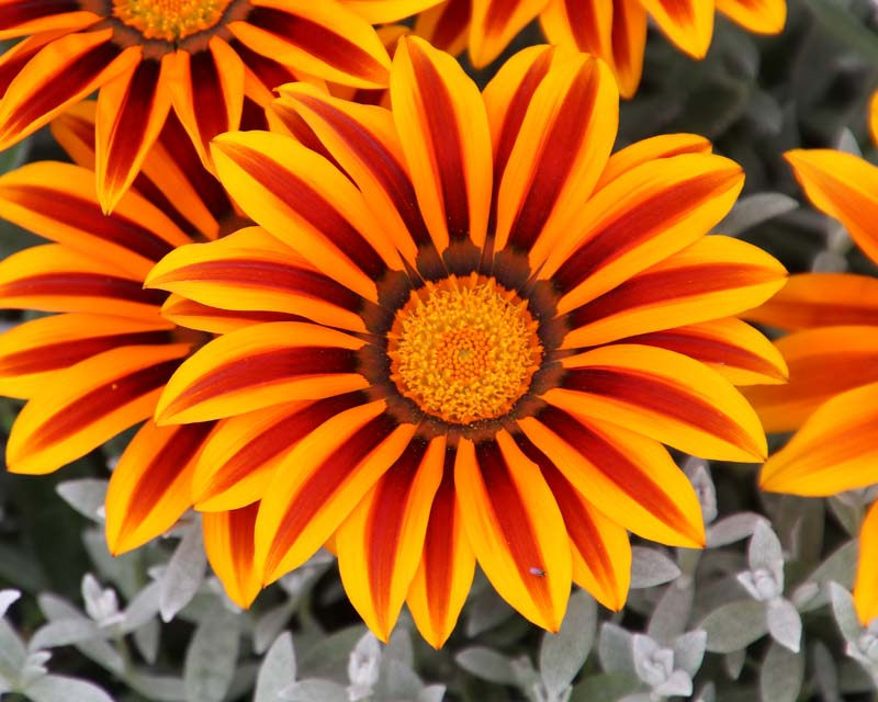 Gazania hybrid, bright enough to warm your hands on.