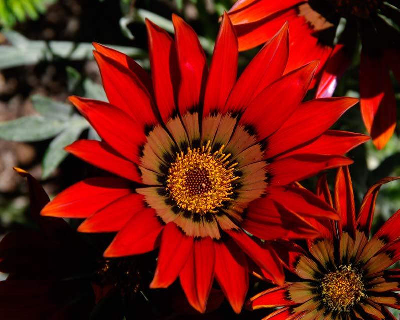 Gazania Scarlet Hybrid