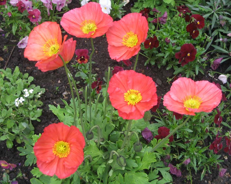 Papaver naudicale, Iceland Poppy, great for borders or planters