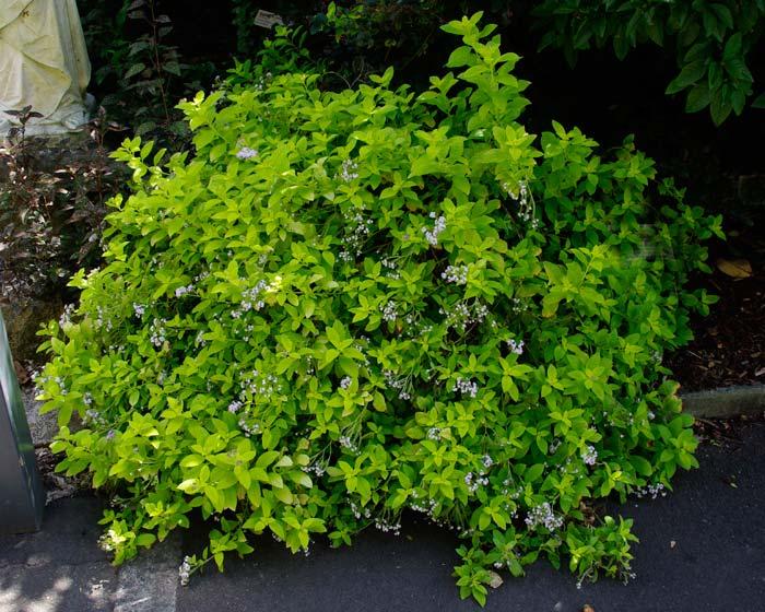 Heliotropium arborescens Aureum